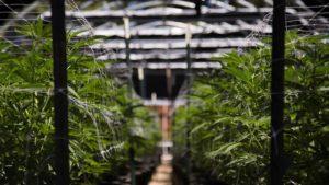 A close-up shot of a marijuana growhouse.