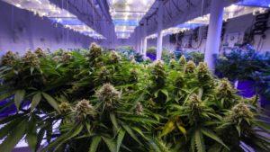 Marijuana plants growing in a greenhouse.